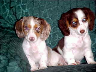 Piebald Miniature Dachshund Puppies,Smooth,short hair