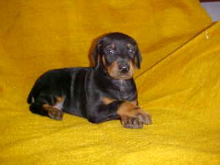 Three D S Doberman Pinscher Puppies