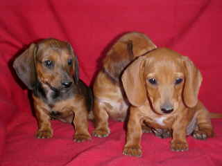 "Smooth Red Dachshund puppies,""Doxies"""