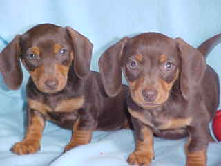 Chocolate and Tan Miniature Dachshunds