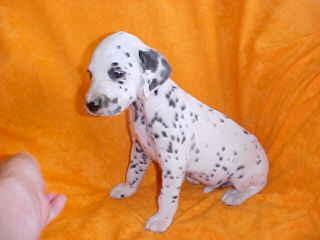 3 female Dalmatian puppies