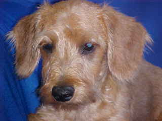 Wirehair miniature Dachshund puppy