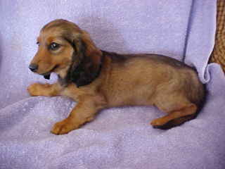 Red Long Hair Dachshund Puppy