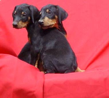 Doberman Puppies,Ca.