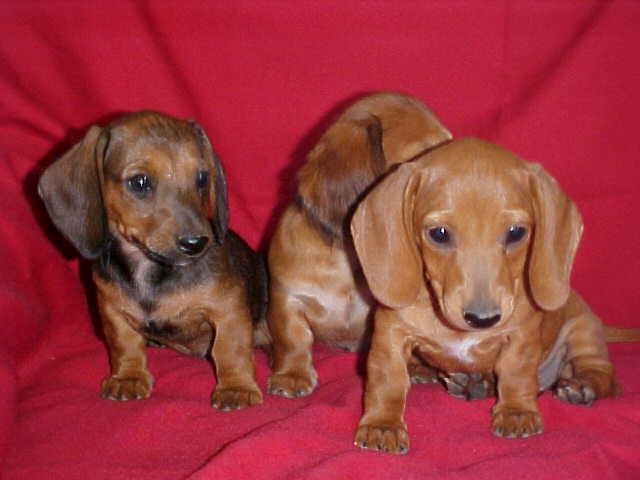 Red smooth/short hair Miniature Dachshund Puppies