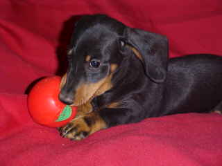 "Smooth Black&tan Dachshund Puppy,""Doxie"""