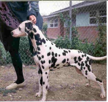 Majestic Kls Dalmatian Puppies